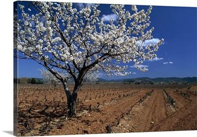 Blossom, Provence, France, Europe