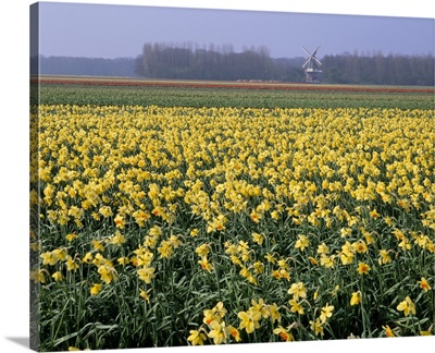 Bulbfields of daffodils and windmill in distance, The Netherlands