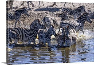 Burchell's Zebra Drinking In Boteti River, Makgadikgadi Pans, Kalahari, Botswana, Africa