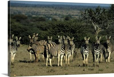 Burchell's zebra, Namibia, Africa