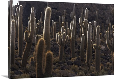 Cacti, Inkahuasa Island, Salar de Uyuni, Bolivia, South America