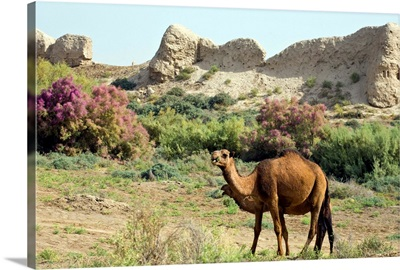 Camels, Ancient Merv, Mary, Turkmenistan, Central Asia, Asia