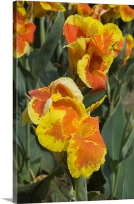 Canna lilies, Costa Rica, Central America