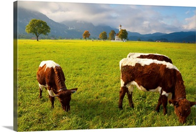 Cattle grazing with Saint Koloman Church in the background, Bavaria, Germany