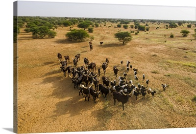 Cattle Moving To A Waterhole, Gerewol Festival, The Wodaabe Fula People, Niger, Africa