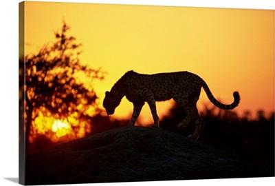 Cheetah (Acinonyx jubatus), Okavango Delta, Botswana, Africa