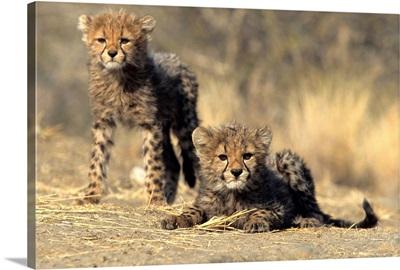 Cheetah cubs, Duesternbrook Private Game Reserve, Windhoek, Namibia, Africa