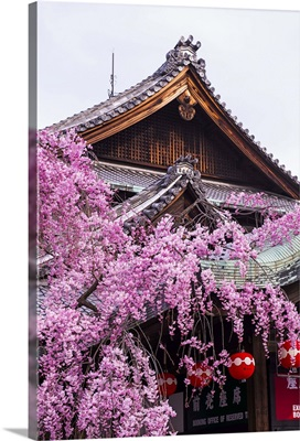 Cherry blossom tree in the Geisha quarter of Gion, Kyoto, Japan
