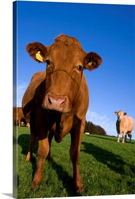 Close-up of cattle, north Exmoor, Devon, England, UK