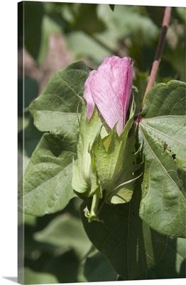 Close-up of cotton flower, Karakalpakstan, Uzbekistan, Asia
