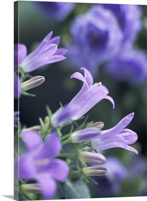 Close-up of flowering campanula Monic