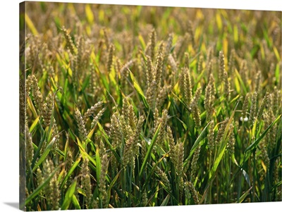 Close-up of heads of wheat in a summer field at Enfield Chase, England, UK