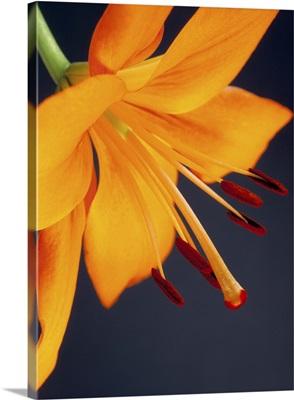 Close-up of orange lilium Brunello flower, against a blue background