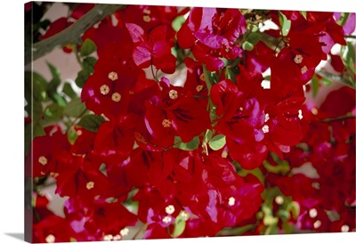 Close-up of pink bougainvillea flowers, Andalucia, Spain, Europe