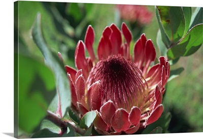 Close-up of Protea flower, taken in South Africa, Africa