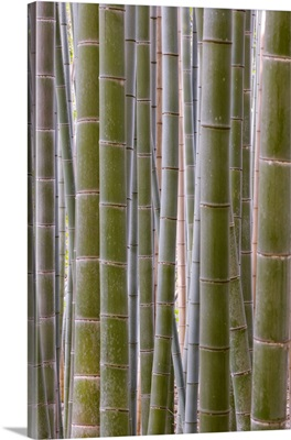 Close-Up Of Stems, Bamboo Forest, Sagano, Ukyo Ward, Arashiyama, Kyoto, Honshu, Japan