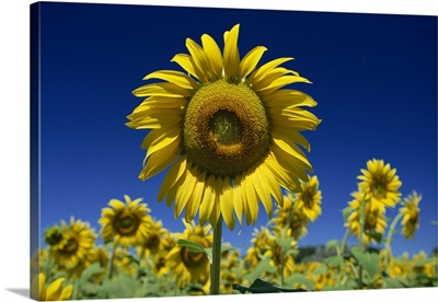 Close-up of sunflower in a field of flowers in Tuscany, Italy, Europe