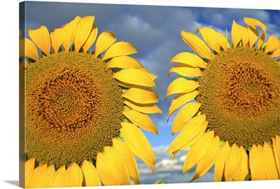 Close-up of two sunflower heads in the Spanish sun, Spain, Europe