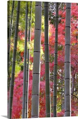 Colourful maples in autumn colours, Arashiyama, Kyoto, Kansai Region, Honshu, Japan