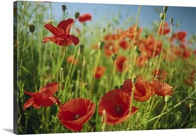 Common poppies near Peterborough, Cambridgeshire, England, UK