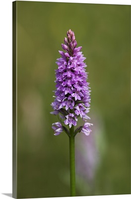 Common spotted orchid, Gait Barrows Nature Reserve, Cumbria, England, UK