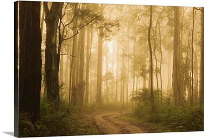 Country road in fog, Dandenong Ranges, Victoria, Australia, Pacific