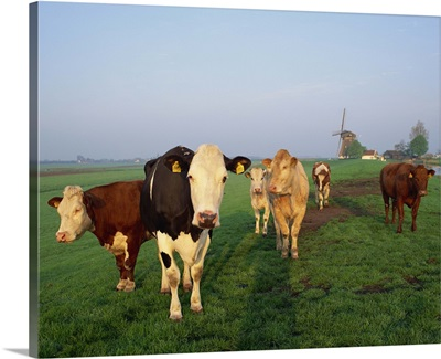 Cows on a polder in the early morning, windmill in the background, Holland