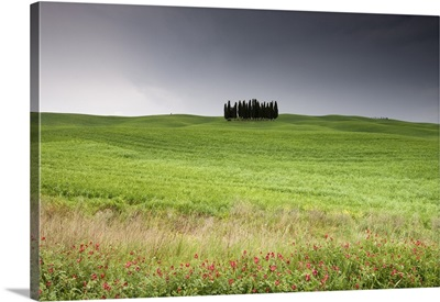 Cypress trees near San Quirico d'Orcia, Val d'Orcia, Siena province, Tuscany, Italy