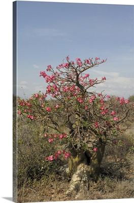 Desert rose, Kenya
