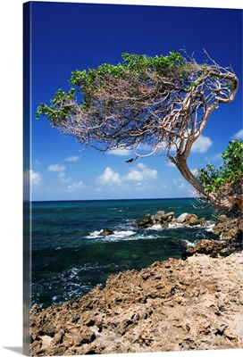 Divi divi tree, Cudarebe Point, Aruba, West Indies, Dutch Caribbean, Central America