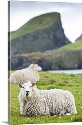 Domestic sheep. Fair Isle, Shetland Islands, Scotland, UK