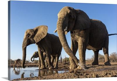 Elephants (Loxodonta Africana) At Water, Mashatu Game Reserve, Botswana, Africa