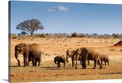 Elephants Parade (Loxodonta Africana), Tsavo East National Park, Kenya, East Africa