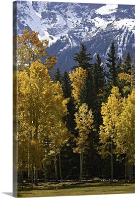 Fall colors of aspens with evergreens, near Ouray, Colorado