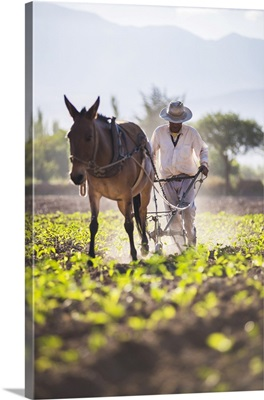 Farmer In The Cachi Valley, Calchaqui Valleys, Salta Province, Argentina