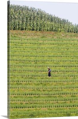 Farmer Spraying Rice Crops, Dragons Backbone Rice Terraces, Longsheng, Guangxi, China