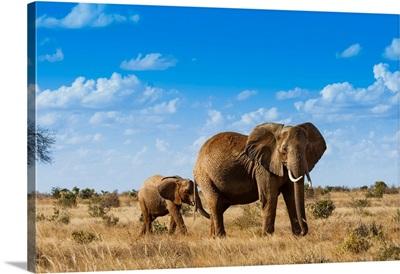 Female Elephant And Two Year Old Calf, Tsavo East National Park, Kenya, East Africa
