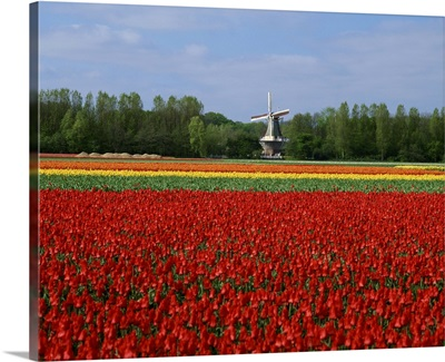Field of tulips with a windmill in the background, near Amsterdam, Holland