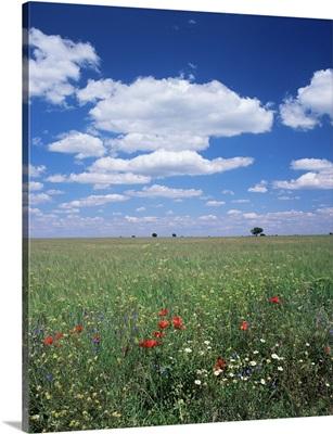Field of wild flowers, Guadalajara, Castilla-La Mancha, Spain, Europe