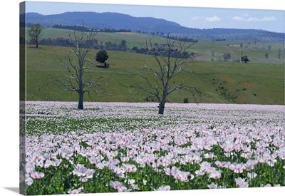 Fields of flowering opium poppies, Tasmania, Australia