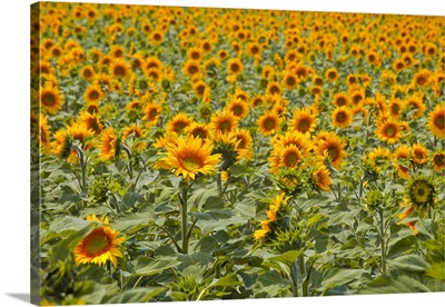 Fields Of Sunflowers In The Loire Valley, France