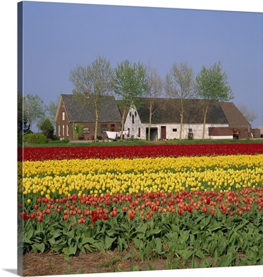 Fields of tulips in Holland, Europe