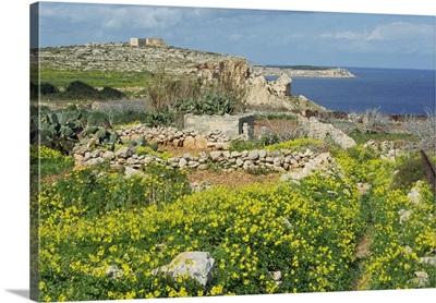 Flowers, in the rocky terrain near Mgiebah Bay, Mediterranean oxalis, Malta, Europe
