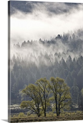 Fog mingling with evergreen trees, Yellowstone National Park, Wyoming