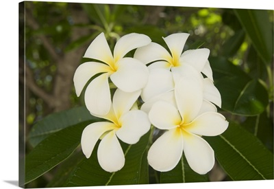 Frangipani flowers, Fakarawa, Tuamotu Archipelago, French Polynesia
