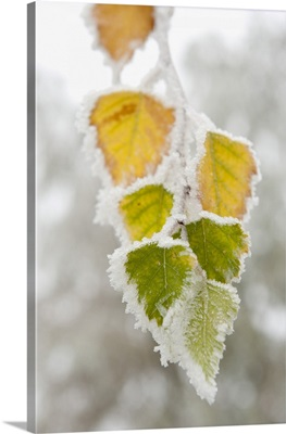 Frost-Covered Birch Leaves, Town Of Cakovice, Prague, Czech Republic