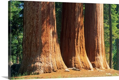 Giant sequoia trees in the Giant Forest in the Sequoia National Park, California, USA