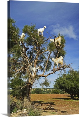 Goats on tree, Morocco, North Africa, Africa