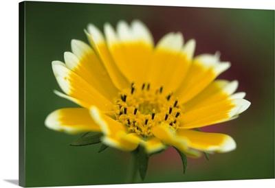 Golden eye, Chrysanthemum segetum, Bielefeld, Germany