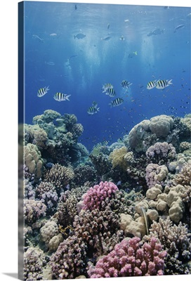 Hard coral and tropical reef scene, Ras Mohammed National Park, Egypt, Red Sea